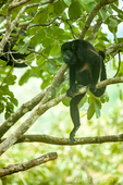 Mantled Howler Monkey sitting on a branch in the middle of the day when it's hot.