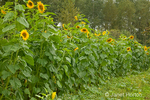 Row of tall sunflowers in a field at Fall City Farms