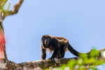 Mantled Howler Monkey climbing in a tree