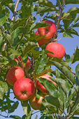 Organic Honeycrisp apples growing in the orchard at Jubilee Farm