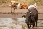 Free-range cattle standing in the river to cool off on a hot day.