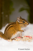 Yellow-pine Chipmunk (Eutamias amoenus) eating bird seed from a snow-covered bench