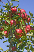 Organic Macintosh apples growing in the orchard at Jubilee Farm