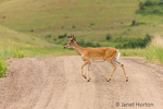 White-tailed Deer buck crossing a dirt road.