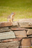 Columbian Ground Squirrel crying an alarm