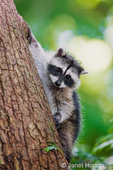 Juvenile raccoon climbing down a tree at its mother's calling.
