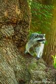 Wild raccoon in a tree