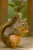 Female Douglas' Squirrel or Chickaree or Pine Squirrel eating peanuts and birdseed on a wood bench, showing her breasts where she is currently nursing a litter of young.