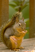 Female Douglas' Squirrel or Chickaree or Pine Squirrel (Tamiasciurus douglasii) eating peanuts and birdseed on a wood bench, showing her breasts where she is currently nursing a litter of young.