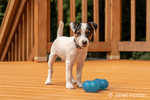 """Two month old Jack Russell Terrier """"Harry"""" playing with a toy on a wooden deck."""