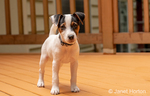 "Two month old Jack Russell Terrier ""Harry"" standing on his deck."