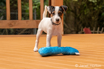 "Two month old Jack Russell Terrier ""Harry"" playing with a toy on a wooden deck."