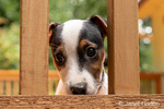 "Two month old Jack Russell Terrier ""Harry"" looking through the railing of a wooden deck."