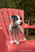 """month old Jack Russell Terrier """"Harry"""" standing on a plastic patio chair."""