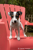"Two month old Jack Russell Terrier ""Harry"" standing on a plastic patio chair."