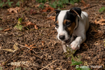 """Two month old Jack Russell Terrier """"Harry"""" chewing a stick on the ground of his natural Pacific Northwest backyard."""