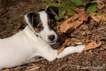 "Two month old Jack Russell Terrier ""Harry"" reclining on the ground of natural Pacific Northwest backyard."