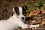 """Two month old Jack Russell Terrier """"Harry"""" reclining on the ground of natural Pacific Northwest backyard."""