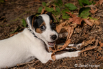"""Two month old Jack Russell Terrier """"Harry"""" reclining on the ground of natural Pacific Northwest backyard, chewing a stick."""