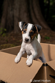 Two month old Jack Russell Terrier