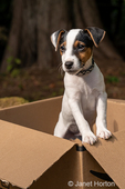 """Two month old Jack Russell Terrier """"Harry"""" posing in a cardboard box."""