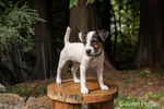 "Two month old Jack Russell Terrier ""Harry"" standing on a wooden seat in his backyard."