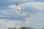 Large-billed tern in flight above the Maranon River.
