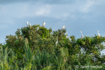 Flock of Great Egrets sitting in trees along the Maranon River.