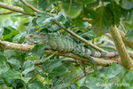 Green Iguana resting on a tree limb along the Ucayali River in the Amazon basin.