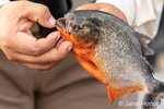 Man showing the sharp teeth of a Red Piranha caught in the Ucayali River in the Amazon basin.  (For editorial use only)