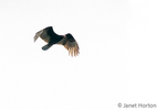 Black Vulture in flight by the Ucayali River in the Amazon basin.