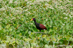 Wattled Jacana walking on Water Lettuce leaves in the Ucayali River in the Amazon basin.