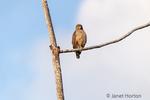 Roadside Hawk in a tree.