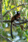 Saddleback Tamarin monkey in a tree.