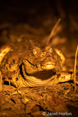 Spectacled Caiman sitting on the riverbank at night with a light shone on it.