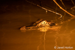 Spectacled Caiman at night with a light shone on it, swimming in the Dorado River.