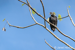 Adult Black Vulture perched in a tree.