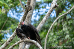 Turkey Vulture perched in a tree, ready to take flight.