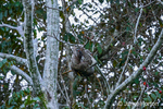 Brown-throated Three-toed Sloth climbing in a tree.
