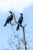 Neotropic Cormorants sitting on a dead tree.