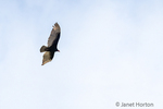 Turkey Vulture flying.
