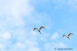 Great Egrets in flight,