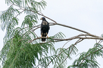 Great Black Hawk perched in a tree in the rainforest