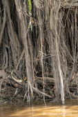 Aerial tree roots going into the river.