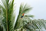 Scarlet Macaw perched in a palm tree.
