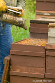 Man using the bee smoker to calm and drive the bees down into the deep super of the hive to eat honey.  With a belly full of honey, they can't sting.