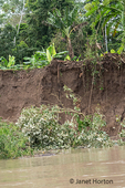 Erosion occurring along the banks of the Maranon River; a small tree had just fallen into the river.