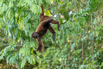 Brown Woolly Monkey (or Common Woolly Monkey or Humboldt's Woolly Monkey) hanging by its tail in the jungle.