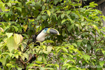 Yellow-Ridged Toucan perched in a tree.