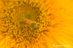 Close-up of a honeybee pollinating a sunflower